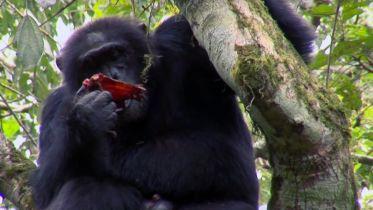 Chimpanzee - Cannibalism