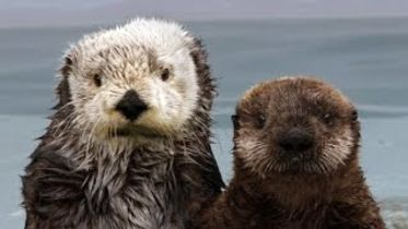 Sea Otter - Fur