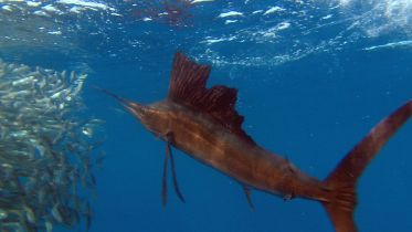 Sailfish - Hunting