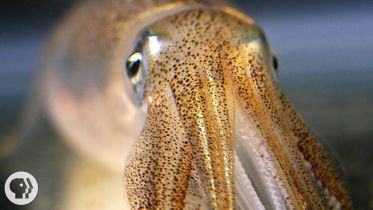 Squid - Chromatophores