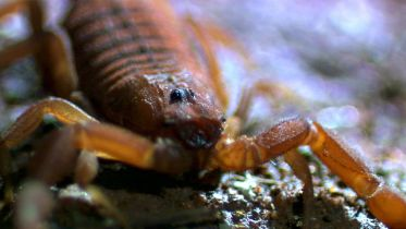 Indian Red Scorpion