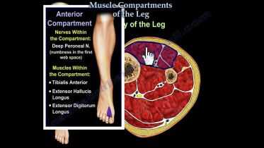 Leg - Muscle Compartments