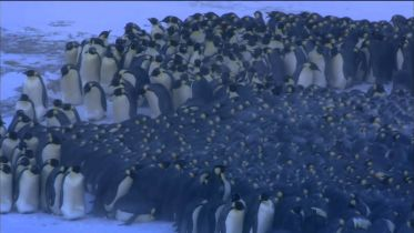 Emperor Penguin - Survival in Extreme Climate