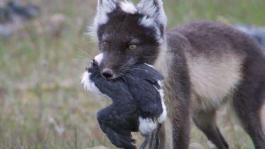 Fox - Hunting