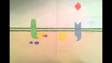 Signal Transduction Pathway - Epinephrine