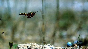 Wasp - Vision