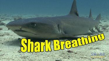 Shark - Respiratory System