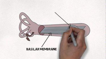 Brain - Cochlea