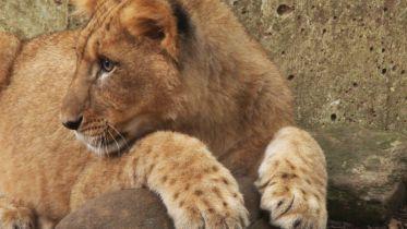 Lion - Roar