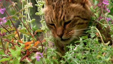 Catnip - Aphrodisiac for Cats