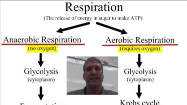 Anaerobic V. Aerobic Respiration