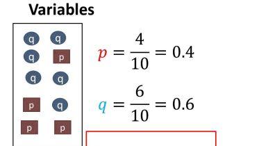 Genetics - Hardy-Weinberg Equilibrium