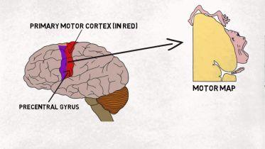 Brain - Motor Cortex