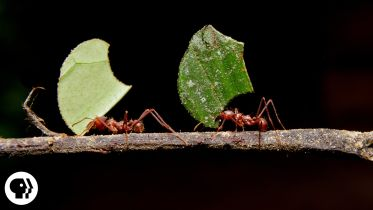 Leafcutter Ant - Ant–Fungus Mutualism