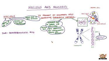 Eukaryotic Nucleus V. Prokaryotic Nucleoid