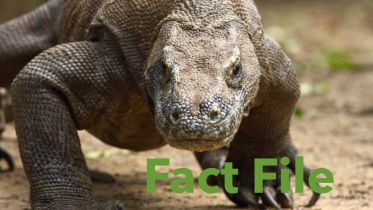 Komodo Dragon - Facts