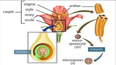 Angiosperm - Life Cycle