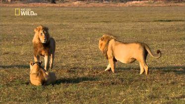 Lion - Defence