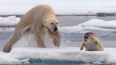 Polar Bear - Hunting & Diet