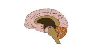 Brain - Nucleus Accumbens