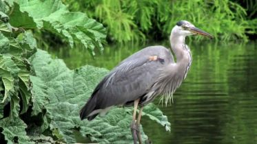 Great Blue Heron - Nesting in San Francisco