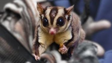 Sugar Glider - Communication