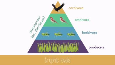 Food Cycle - Trophic Structure