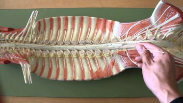 Spinal Cord - Gross Anatomy
