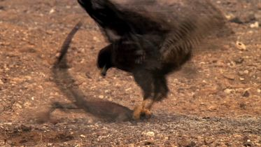 Galapagos Hawk - Hunting Iguana