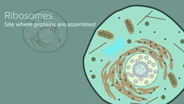 Nucleus - Structure