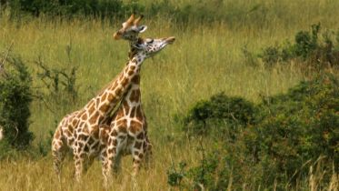 Giraffe - Male Aggressive Behaviour