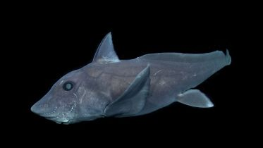 Pointy - Nosed Blue Chimaera
