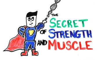 Muscular System - Myostatin