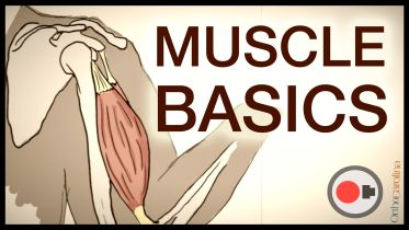 Muscular System - Muscle Functions