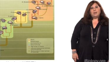 Phylogenetic Tree - Human Evolution
