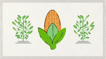 Genetic Engineering - GMO Crops