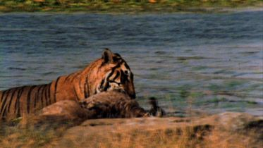 Tiger - Hunting Deer