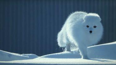 Arctic Fox - Survival