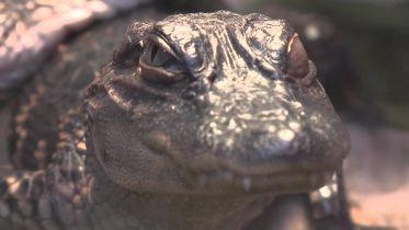 Alligator - Skin Sensitivity
