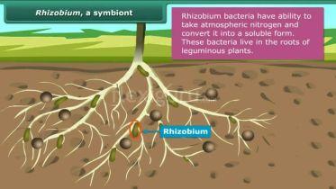 Rhizobium - Symbiont