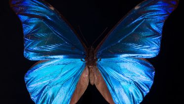 Morpho Butterfly - Wings
