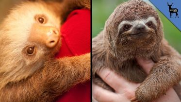Sloth - Two-Toed Sloth and Three-Toed Sloth
