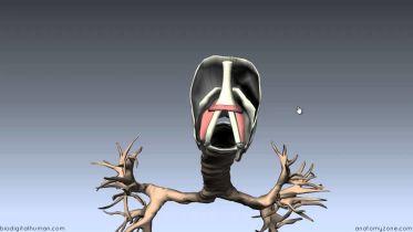 Neck - Larynx