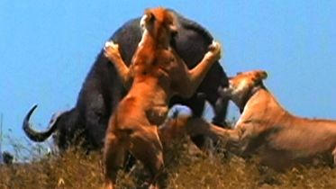 Lion - Hunting in Packs