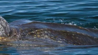 Leatherback Sea Turtle - Endangered Species