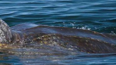 Leatherback Sea Turtle - Endangered Species