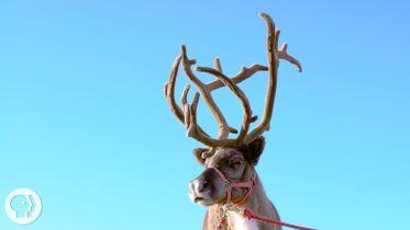 Reindeer - Antlers