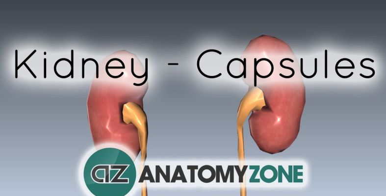 Kidney capsules of the kidney check123 video encyclopedia ccuart Choice Image