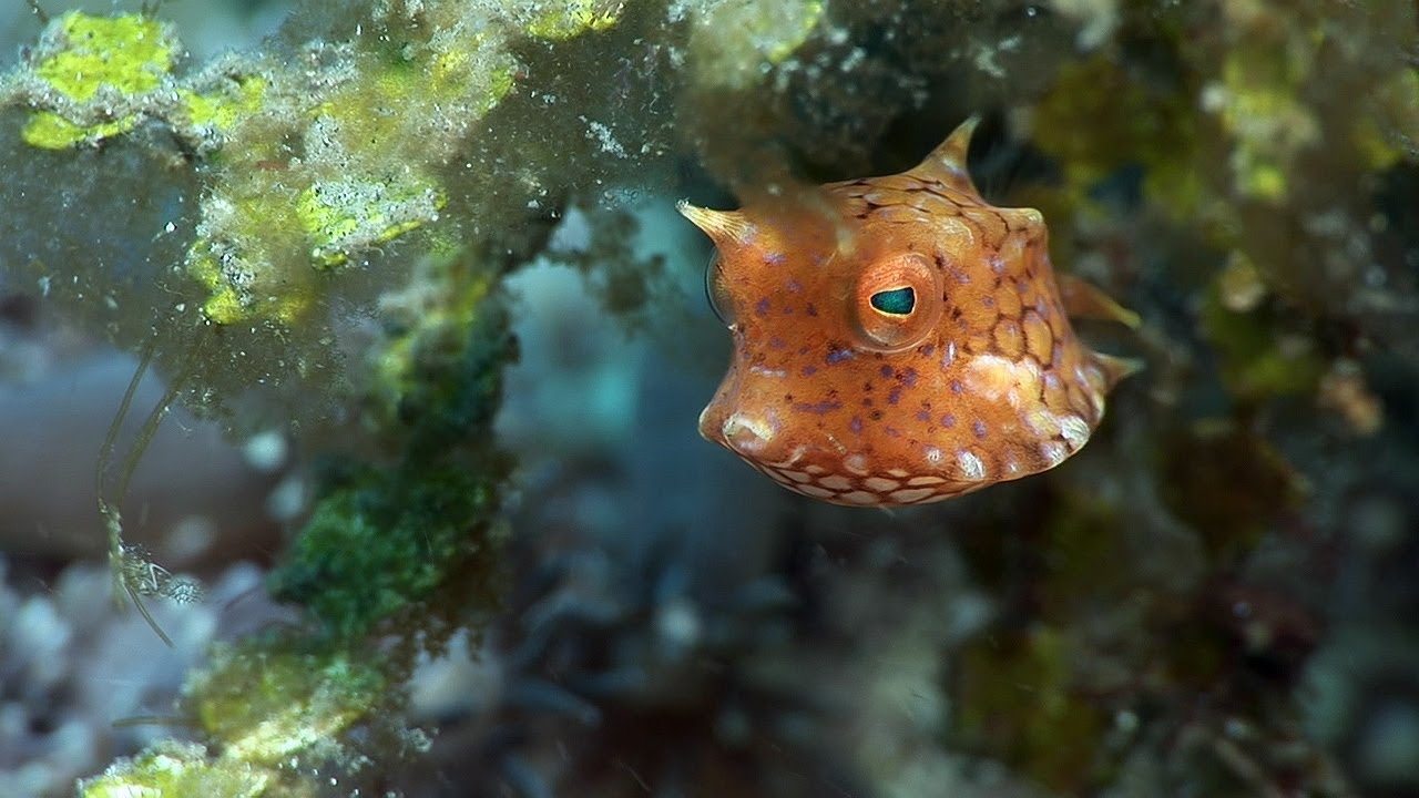 Boxfishes, Puffers & Porcupinefishes
