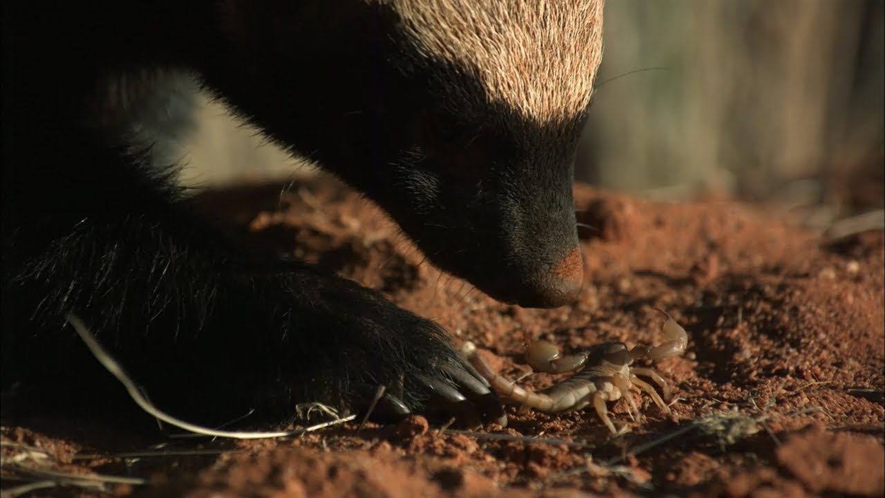 Honey Badger - Immunity to Venom